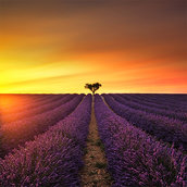 Lavender and lonely tree wallpaper